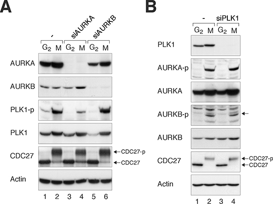 Loss of Aurora kinases disrupts PLK1 activity during mitosis.