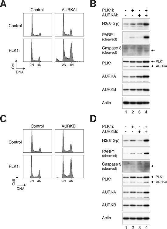 PLK1i cooperates with Aurora kinase inhibitors to induce mitotic catastrophe.