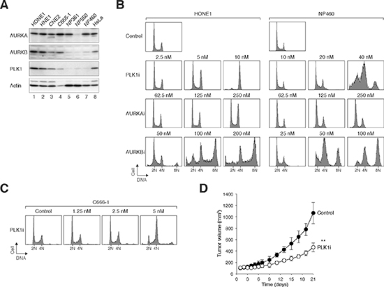 NPC cells are more sensitive to PLK1i than normal NP epithelial cells.