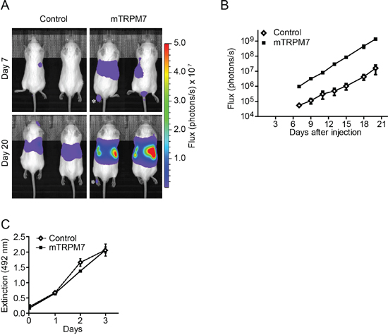 TRPM7 increases the metastatic potential of N1E-115 cells.