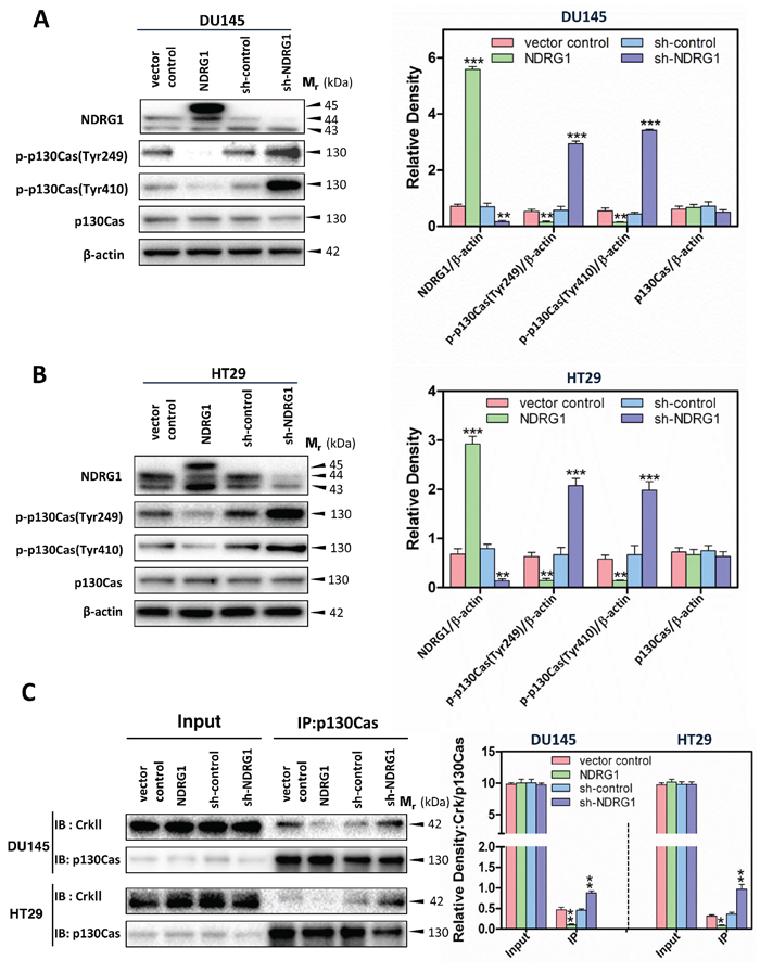 NDRG1 expression decreased p130Cas phosphorylation and subsequently the binding of p130Cas and CrkII in DU145 and HT29 cells.