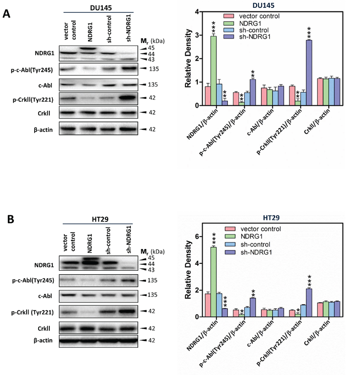 NDRG1 expression inhibited c-Abl activation and its effect on CrkII phosphorylation.