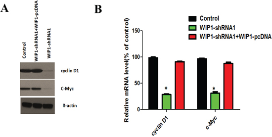WIP1 silencing decreased the expression of cyclin D1 and c-Myc.