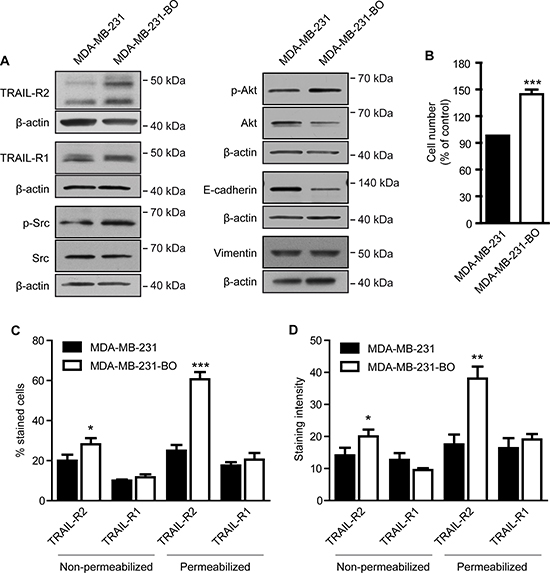 Bone metastatic phenotype of MDA-MB-231 cells is associated with higher expression of TRAIL-R2 and enhanced proliferation.