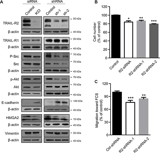 Knockdown of TRAIL-R2 reverses the bone-metastatic signature of MDA-MB-231-BO cells and impairs proliferation and migration.