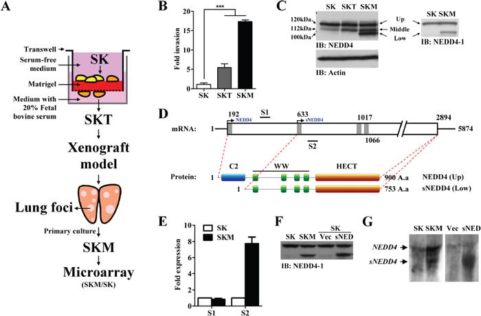 Generation of potent metastatic cell lines, SKT and SKM, and identifying metastatic-associated gene, sNEDD4.