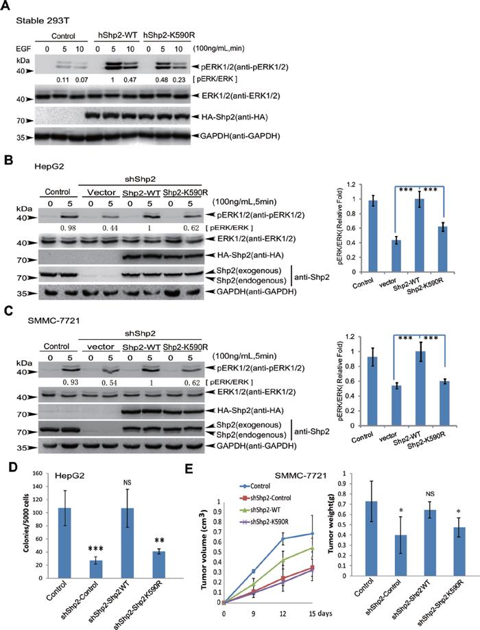 Shp2K590R downregulates ERK signaling, anchorage-independent growth and tumorigenesis.
