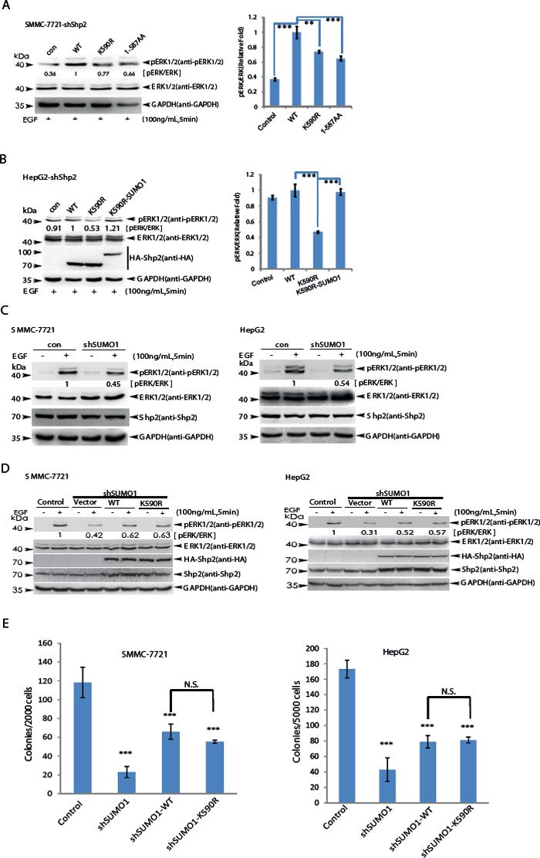SUMOylation of K590 at Shp2 promotes ERK activation.