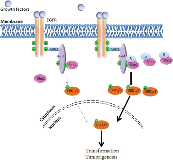 Model for the Shp2 SUMOylation in ERK pathway.
