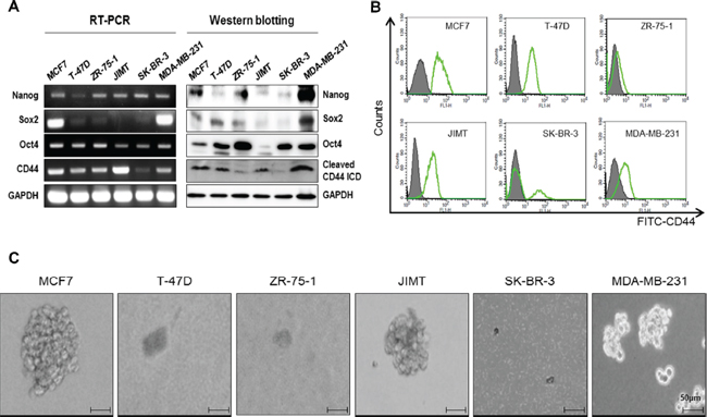 Basal expression levels of CD44 in breast cancer cell lines and mammosphere formation.