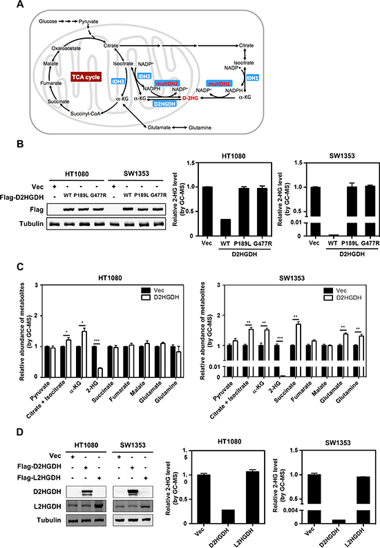 Ectopic expression of D2HGDH reduces D-2-HG in IDH-mutated cancer cells.