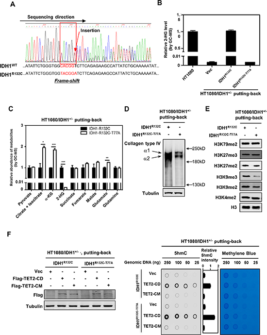 Putting-back IDH1-R132C in HT1080/IDH1+/− cells restores D-2-HG and inhibits the activity of several α-KG-dependent dioxygenases.