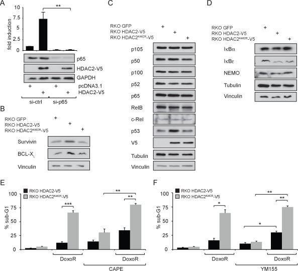 Expression levels of NF-κB target genes and influence on genotoxic stress tolerance in a model cell system comparing wild-type HDAC2 and non-sumoylatable HDAC2