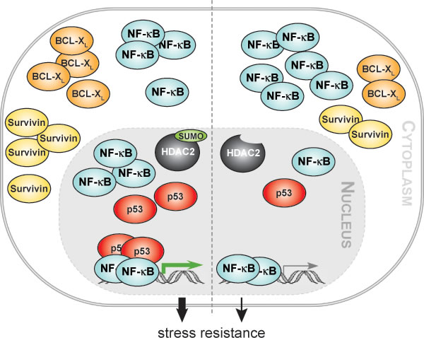 HDAC2 sumoylation integrates NF-κB signaling.