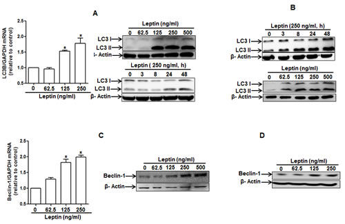 Effects of leptin on the expression of autophagy-related proteins.