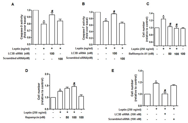 Role of autophagy induction in suppression of caspase-3 activity by leptin.