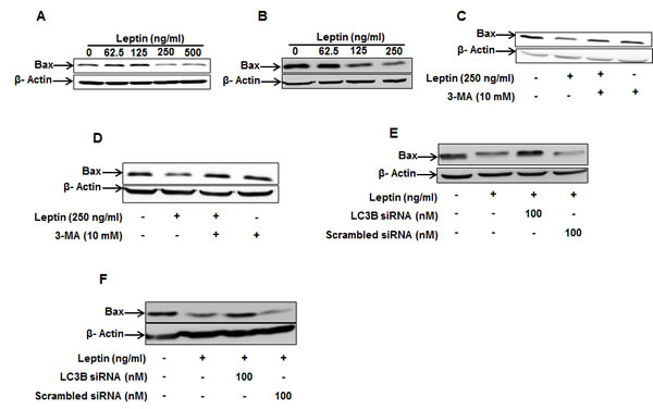 Role of autophagy induction in leptin-suppressed Bax expression.