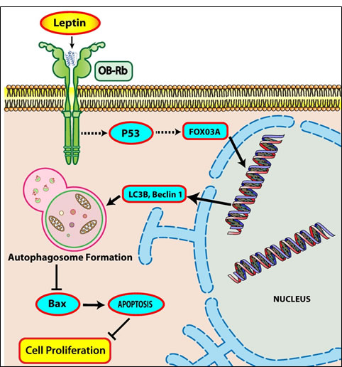 Proposed model for autophagy induction by leptin and its role in suppression of apoptosis in cancer cells.
