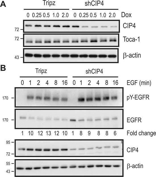 Inducible CIP4 silencing and EGFR activation in TNBC cells alters EGFR signaling.