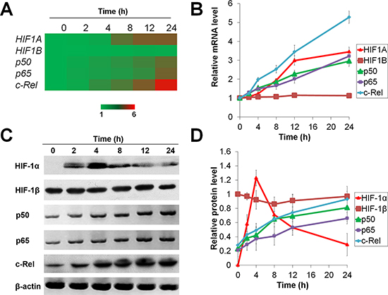 Temporal expression of HIF-1α under short-term and prolonged hypoxia.
