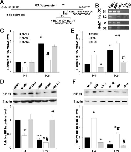NF-κB dual-regulates HIF-1α under short-term versus prolonged hypoxia.