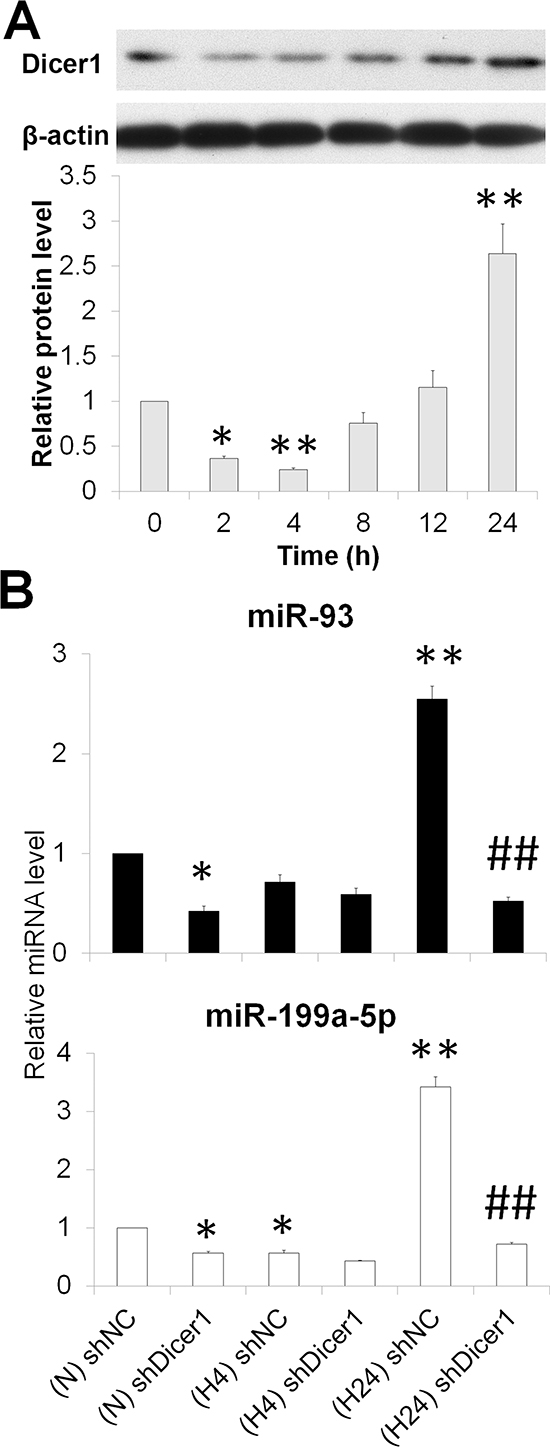 Hypoxia represses miR-93 and miR-199a-5p by downregulating Dicer1.