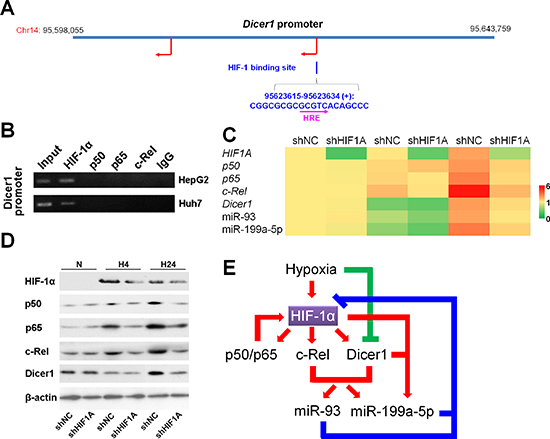 HIF-1 upregulates Dicer1 and miR-93/199a-5p under hypoxia.