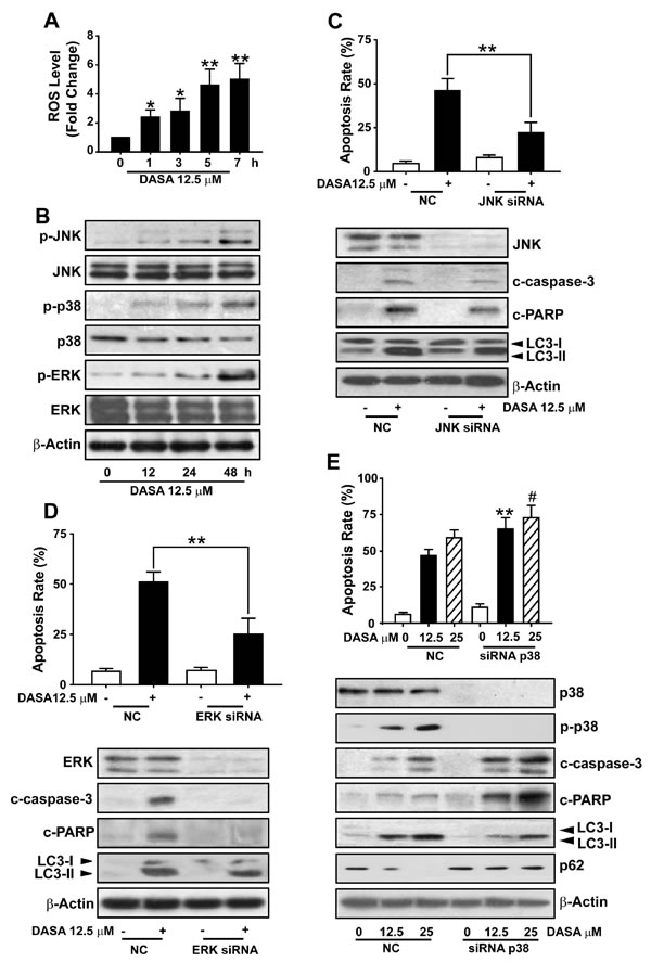 The activation of p38 is required for dasatinib-induced autophagy in hepatocytes.