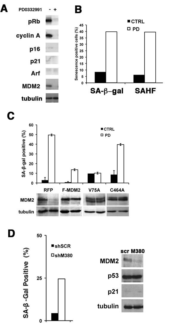 PD0332991 and MDM2 knockdown induce senescence is p53-mutant SNB19 cells.
