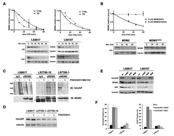 MDM2 is regulated post-translationally.