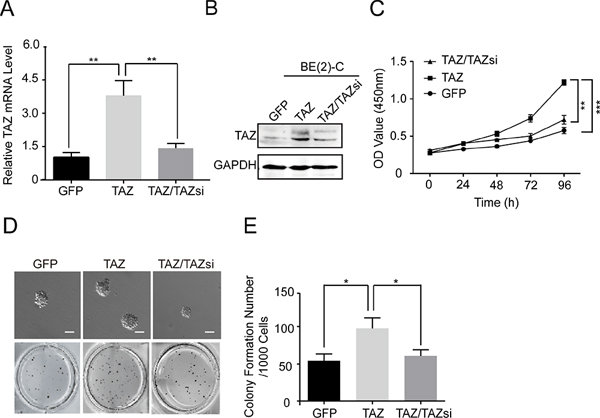 Overexpression of TAZ promotes cell proliferation and colony formation.