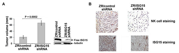ISG15 inhibits ZR-75-1 breast tumor growth in nude mice and induces NK cell filtration into xenograft tumors.