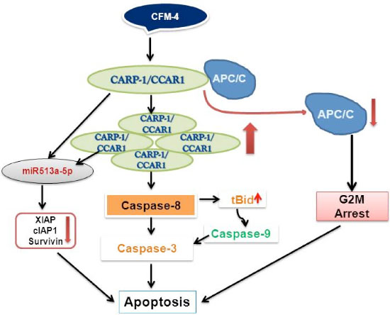 A Schematic of CFM-4-CARP-1/CCAR1-APC/C Signaling.