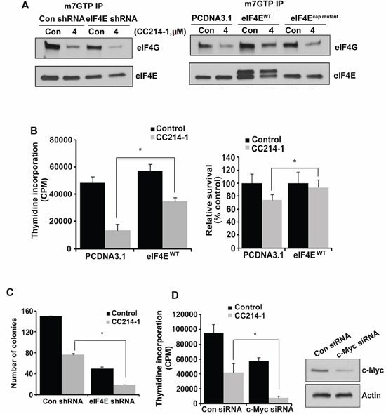 Effect of CC214-1 treatment on eIF4F complex and cell growth in the presence of decreased or increased eIF4E.