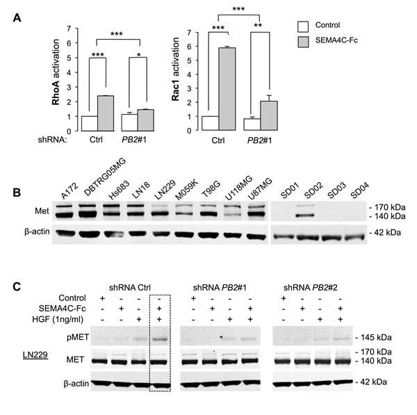 Plexin-B2 stimulation activates small GTPases RhoA and Rac1 and synergizes with HGF in Met phosphorylation.