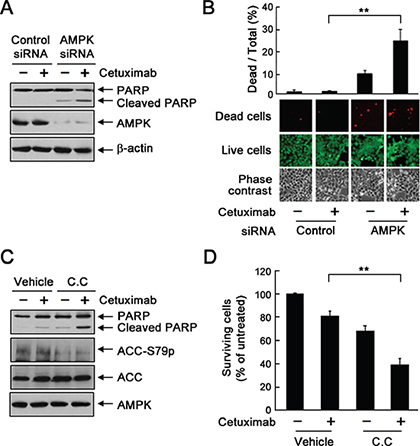 Knockdown or inhibition of AMPK sensitizes UMSCC1 cells to cetuximab treatment via induction of apoptosis.