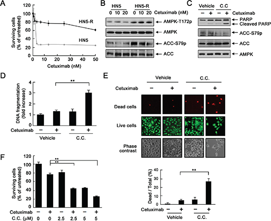 Inhibition of AMPK overcomes acquired resistance to cetuximab via induction of apoptosis.