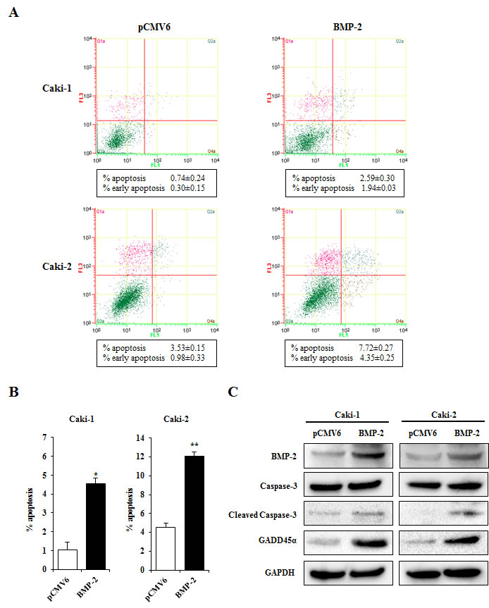 Effects of BMP-2 overexpression on apoptosis.