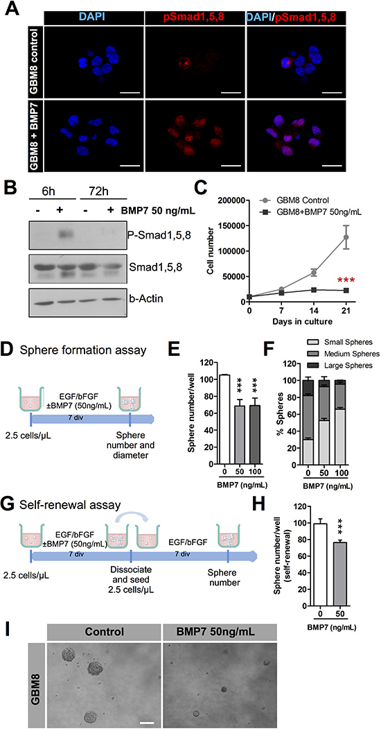 BMP7 decreases cell growth, sphere formation and self-renewal and it exerts its action via canonical signaling.
