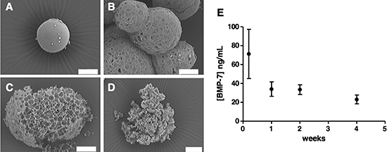 Microsphere morphology and structure during degradation in PBS (pH 7.4) BSA 1% (w/v) at 37°C.