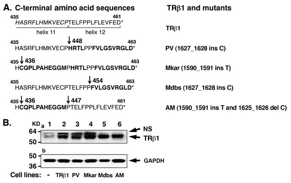 Establishment of cell lines stably expressing TRβ1 and the C-terminal mutants PV, Mkar, Mdbs, and AM in human MDA breast cancer cells.