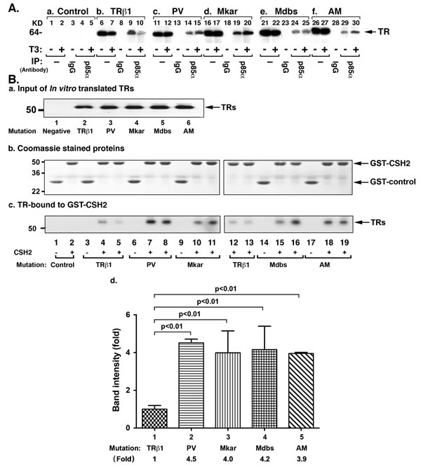PI3K signal pathway is constitutively activated by C-terminal mutants via protein-protein interaction.