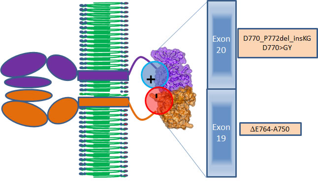 Scheme of interactions between the EGFR proteins in the active dimer (brown and violet).