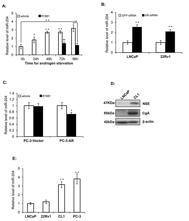 miR-204 expression is down-regulated by AR signaling.