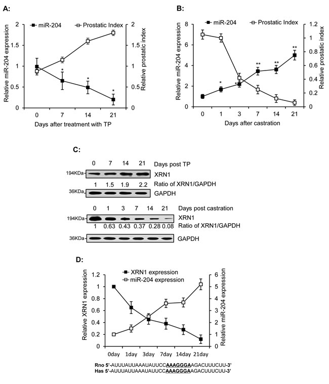 Inverse correlation of miR-204 and XRN1 expression in the ventral prostates of rats.
