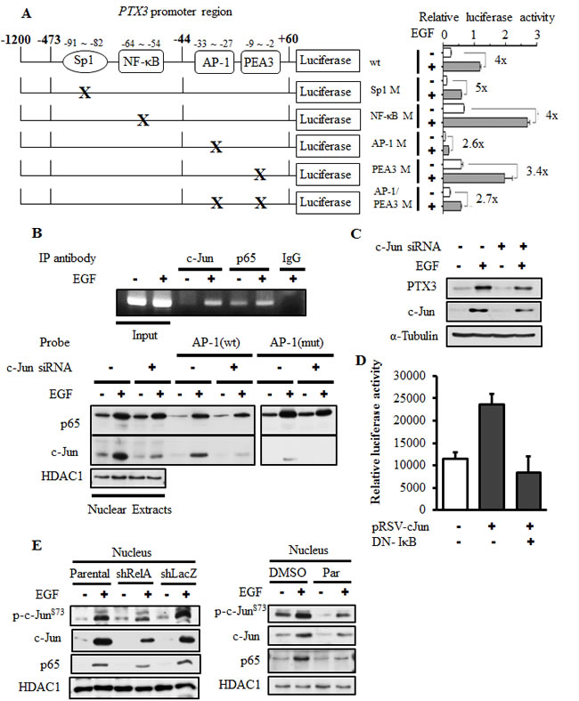 The binding of c-Jun to AP1-binding site located on the PTX3 promoter is essential for EGF-induced promoter activity.