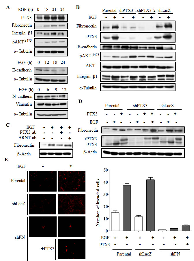 EGF-induced PTX3 regulates expressions of fibronectin and E-cadherin.