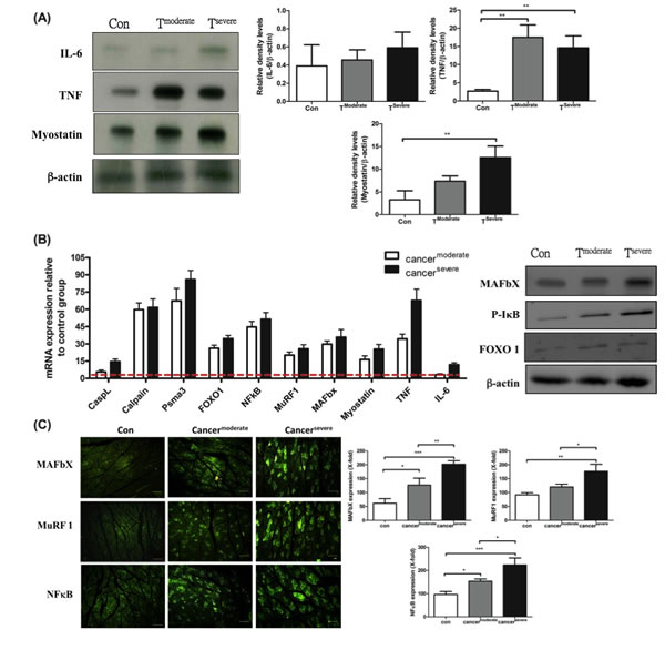 mRNA and protein levels for genes encoding cachexic factors towards proteolytic signaling molecules after line-1 tumor inoculation (protocol #1).