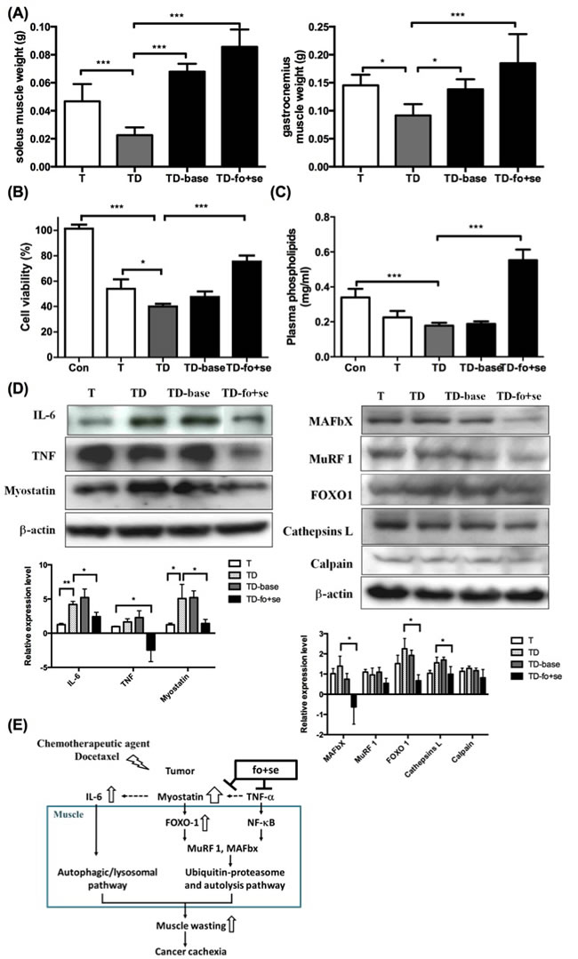 Effects of daily oral administration of background diet or combined nutritional components (addition of fish oil (fo) or selenium yeast (se)) on skeletal muscle atrophy in tumor-bearing mice with chemotherapy (protocol #3).