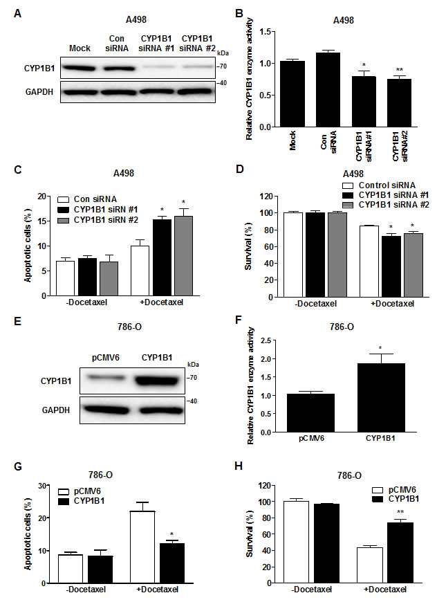Change in CYP1B1 expression alters docetaxel resistance of RCC cells.